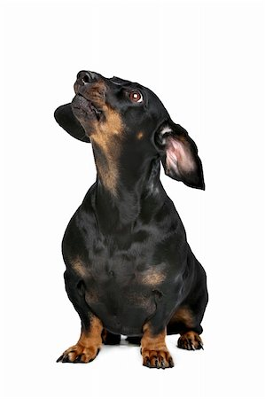 dachshund black and tan in front of white background Stock Photo - Budget Royalty-Free & Subscription, Code: 400-06388598