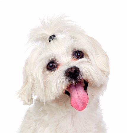 Beautiful white Bichon Maltese isolated on white background Stock Photo - Budget Royalty-Free & Subscription, Code: 400-06389377