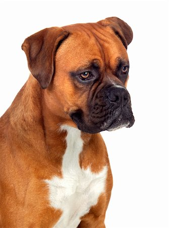 Beautiful Boxer dog isolated on white background Stock Photo - Budget Royalty-Free & Subscription, Code: 400-06395644