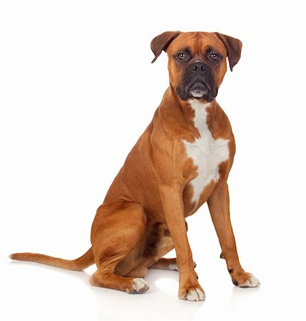 Beautiful Boxer dog isolated on white background Stock Photo - Budget Royalty-Free & Subscription, Code: 400-06395646