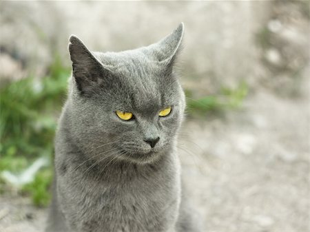 Mature gray British cat outdoors on light gray fuzzy background Stock Photo - Budget Royalty-Free & Subscription, Code: 400-06396565