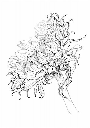sunflower pen drawing vector sketch Stock Photo - Budget Royalty-Free & Subscription, Code: 400-06410652