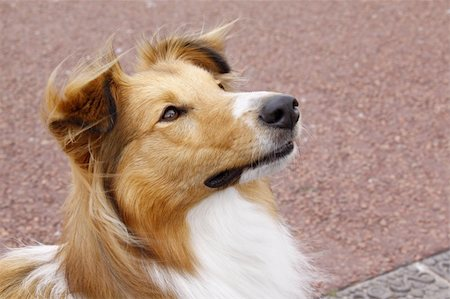 sheltie - sheltie collie dog being attentive and alert Stock Photo - Budget Royalty-Free & Subscription, Code: 400-06424912
