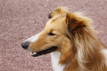 sheltie - sheltie collie dog being attentive and alert Stock Photo - Budget Royalty-Free & Subscription, Code: 400-06423129