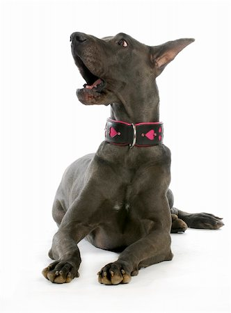 big dog - great dane barking laying down isolated on white background Stock Photo - Budget Royalty-Free & Subscription, Code: 400-06455611