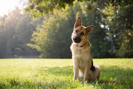 diego_cervo (artist) - young german shepherd sitting on grass in park and looking with attention at camera, tilting head Stock Photo - Budget Royalty-Free & Subscription, Code: 400-06457902
