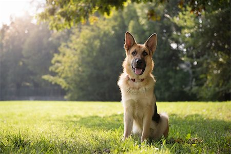 diego_cervo (artist) - young german shepherd sitting on grass in park and looking with attention at camera Stock Photo - Budget Royalty-Free & Subscription, Code: 400-06460576
