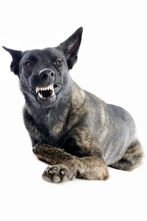 portrait of an aggressive holland shepherd in a studio Stock Photo - Budget Royalty-Free & Subscription, Code: 400-06481253