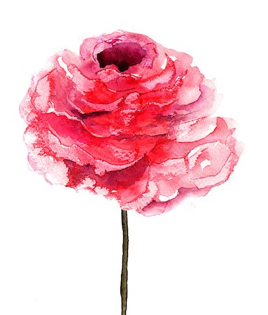 peony illustrations - Rose flower, watercolor illustration Stock Photo - Budget Royalty-Free & Subscription, Code: 400-06524980
