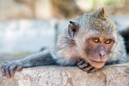 Artful monkey looking in the camera and is ready to grab, crab-eating macaque or the long-tailed macaque (Macaca fascicularis), Bali. Selective focus on eyes. Stock Photo - Budget Royalty-Free & Subscription, Code: 400-06520645