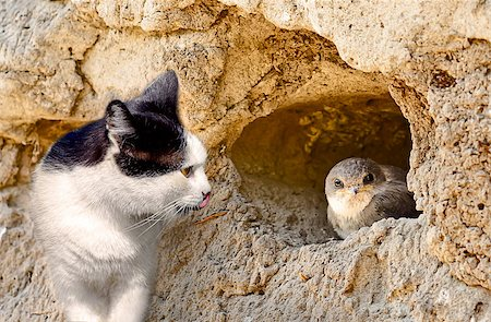simsearch:400-04399778,k - Cat hunts on a bird sitting in a nest Stock Photo - Budget Royalty-Free & Subscription, Code: 400-06555809