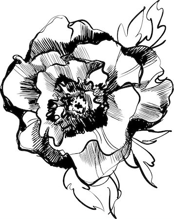 peony illustrations - a sketch of a beautiful blooming peony flower Stock Photo - Budget Royalty-Free & Subscription, Code: 400-06629931