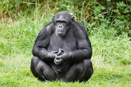 Portrait of a chimp or chimpanzee sitting Stock Photo - Budget Royalty-Free & Subscription, Code: 400-06639999