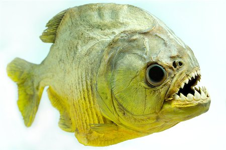 piranha fish - Piranhas are found in the Amazon basin, in the Orinoco, in rivers of the Guyanas, in the Paraguay-Paraná, and the São Francisco River systems. Some species of piranha have broad geographic ranges, occurring in more than one of the major basins mentioned above, whereas others appear to have more limited distributions. Stock Photo - Budget Royalty-Free & Subscription, Code: 400-06633898