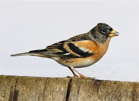 fringilla - Close up of a male Brambling perched on a tree stump Stock Photo - Budget Royalty-Free & Subscription, Code: 400-06694828