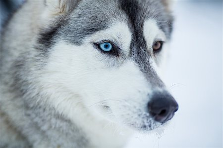 Siberian husky dog closeup portrait Stock Photo - Budget Royalty-Free & Subscription, Code: 400-06693726