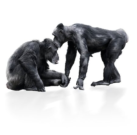 Two Chimpanzee On White Background Stock Photo - Budget Royalty-Free & Subscription, Code: 400-06743793