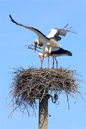 people mating - Couple of white storks building the nest Stock Photo - Budget Royalty-Free & Subscription, Code: 400-06758570