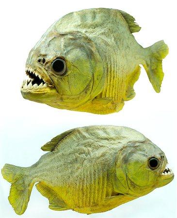 piranha fish - Piranhas are found in the Amazon basin Stock Photo - Budget Royalty-Free & Subscription, Code: 400-06769146