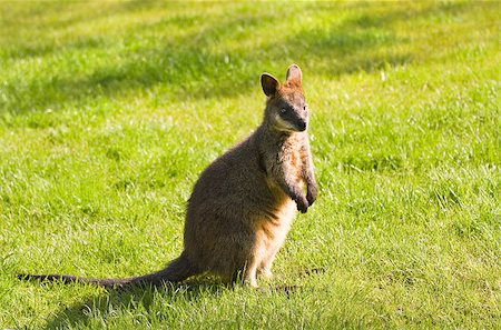 Swamp- or Black Wallaby standing on grassland in morning sunshine Stock Photo - Budget Royalty-Free & Subscription, Code: 400-06798209