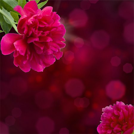 pattern paeonia - mauve peony flowers on violet bokeh background with copy space Stock Photo - Budget Royalty-Free & Subscription, Code: 400-06861119