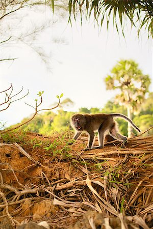 macaque monkey in forest at summer day Stock Photo - Budget Royalty-Free & Subscription, Code: 400-06891705