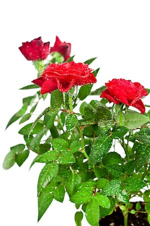 red roses with water drops on white background Stock Photo - Budget Royalty-Free & Subscription, Code: 400-06918218