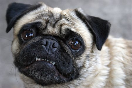 A pug shows her teeth for the camera in this comical pose. Stock Photo - Budget Royalty-Free & Subscription, Code: 400-06924738
