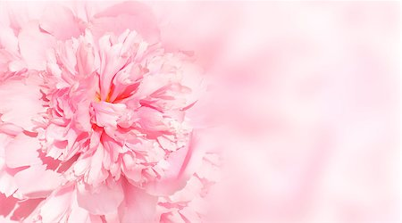 peonies background - Flower of peony on pink background Stock Photo - Budget Royalty-Free & Subscription, Code: 400-06926784