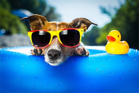 dog in heat - dog on  blue air mattress  in water refreshing Stock Photo - Budget Royalty-Free & Subscription, Code: 400-06928411