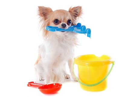 chihuahua in holidays in front of white background Stock Photo - Budget Royalty-Free & Subscription, Code: 400-06953136