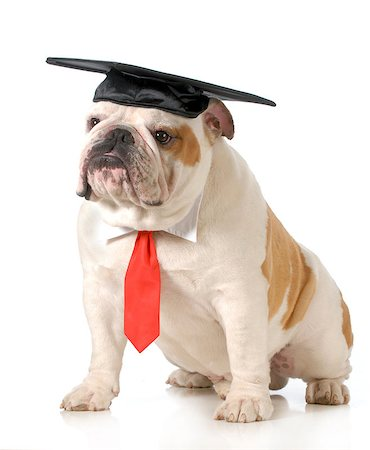 pet graduation - english bulldog wearing graduation cap and red tie sitting on white background - one year old Stock Photo - Budget Royalty-Free & Subscription, Code: 400-07044018