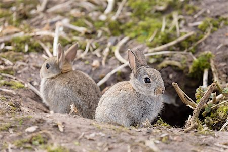 Two baby wild European rabbits sit outside their burrow at a rabbit warren in the UK Stock Photo - Budget Royalty-Free & Subscription, Code: 400-07044797
