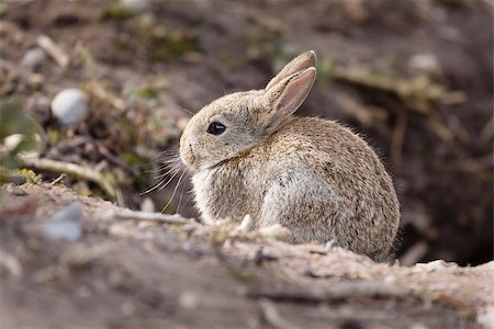 Wild baby european rabbit Oryctolagus cuniculus outside a burrow of a rabbit warren Stock Photo - Budget Royalty-Free & Subscription, Code: 400-07044799
