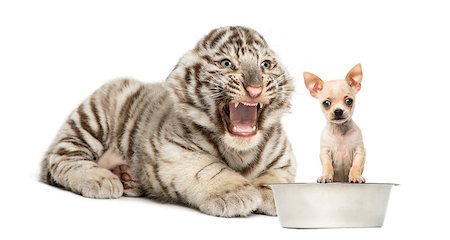 White tiger cub screaming at a Chihuahua puppy, isolated on white Stock Photo - Budget Royalty-Free & Subscription, Code: 400-07046431