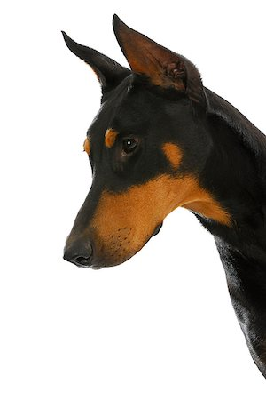 guard dog - doberman pinscher in protective stance isolated on white background Stock Photo - Budget Royalty-Free & Subscription, Code: 400-07050696