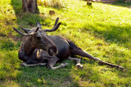 The moose (North America) or Eurasian elk (Europe) Stock Photo - Budget Royalty-Free & Subscription, Code: 400-07087737