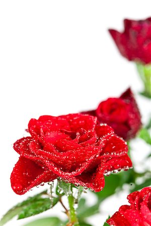 red roses with water drops on white background Stock Photo - Budget Royalty-Free & Subscription, Code: 400-07094267