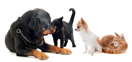 dogs and cats in front of white background Stock Photo - Budget Royalty-Free & Subscription, Code: 400-07090297