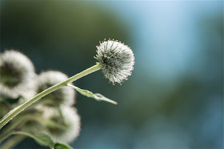 thistle flowers in a sunny day on an indistinct background Stock Photo - Budget Royalty-Free & Subscription, Code: 400-07093633