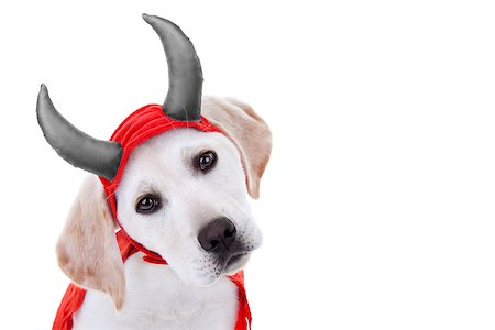 Halloween Labrador puppy dog wearing devil costume isolated on white with copyspace Stock Photo - Budget Royalty-Free & Subscription, Code: 400-07113774