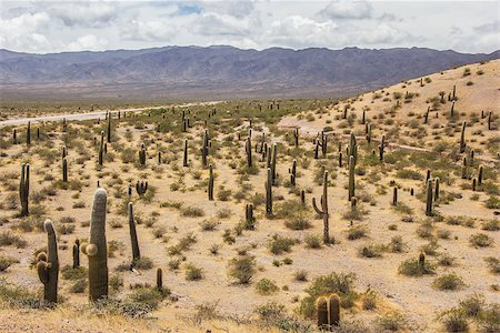 Field of cactusses in  Los Cardones National Park, Argentina. Stock Photo - Budget Royalty-Free & Subscription, Code: 400-07124212