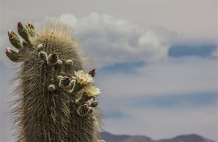 Blooming cactus in Los Cardones National Park, Argentina Stock Photo - Budget Royalty-Free & Subscription, Code: 400-07124213