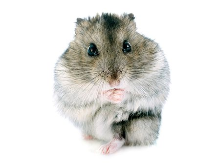 russian hamster in front of white background Stock Photo - Budget Royalty-Free & Subscription, Code: 400-07124930