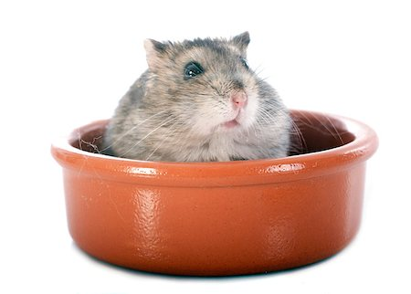russian hamster in front of white background Stock Photo - Budget Royalty-Free & Subscription, Code: 400-07125150