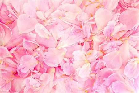 peonies background - Pink peony flower petal background. Paeonia lactiflora. Stock Photo - Budget Royalty-Free & Subscription, Code: 400-07175956