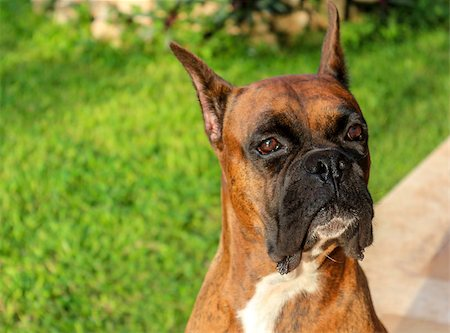 Cute Boxer dog looking off camera Stock Photo - Budget Royalty-Free & Subscription, Code: 400-07172826