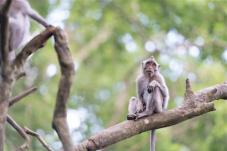 Lonely monkey macaque on tree branch in green forest Stock Photo - Budget Royalty-Free & Subscription, Code: 400-07207937