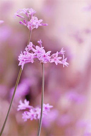 flower greeting - This is a photo of pink flowers Stock Photo - Budget Royalty-Free & Subscription, Code: 400-07209619