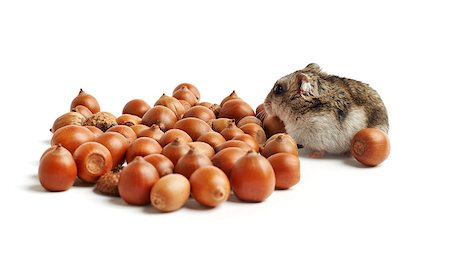 hamster sits surrounded by acorns on white background Stock Photo - Budget Royalty-Free & Subscription, Code: 400-07217355
